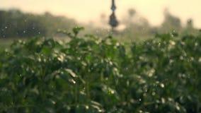特写镜头,特别灌溉系统洒在绿色土豆灌木的水 降雨量水下落,在绿色的浪花飞行 股票视频