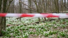 特写镜头,红色操刀的磁带 开花的snowdrops在森林里,一个被保护区,操刀与一条红色丝带 Snowdrops? 股票录像