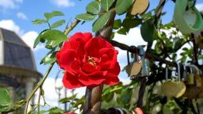 特写镜头,美丽红色在一明亮的好日子上升了摇摆在风反对天空蔚蓝 底视图 4 K 25 fps 股票视频