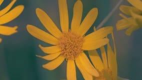 特写镜头,震动在一块沼地的风的宏观黄色花在森林里 影视素材
