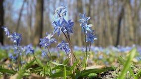 特写镜头,Scilla西伯利亚或蓝色snowdrop在第一朵春天花在一明亮晴朗的风摇摆的森林里 股票录像