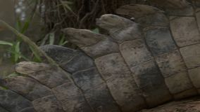 特写镜头|奥里诺科河鳄鱼尾巴,哥伦比亚 影视素材