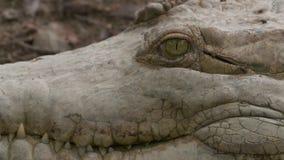 特写镜头|奥里诺科河鳄鱼的头,Wisirare公园 股票录像