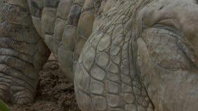 特写镜头|奥里诺科河鳄鱼身体标度,哥伦比亚 影视素材