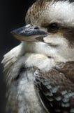 特写镜头kookaburra 免版税库存图片