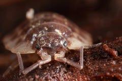 特写镜头pillbug 免版税图库摄影