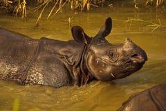 特写镜头rhinocerous unicornis趟过 免版税库存照片