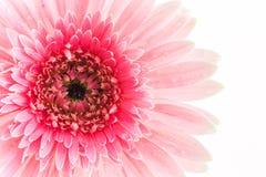 特写镜头一朵桃红色大丁草雏菊花 免版税库存照片