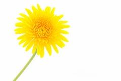 特写镜头一朵黄色大丁草雏菊花 免版税图库摄影
