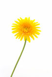 特写镜头一朵黄色大丁草雏菊花 免版税库存图片