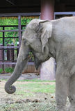 特写镜头一头亚洲大象 免版税库存图片