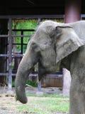 特写镜头一头亚洲大象 免版税库存照片