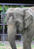 特写镜头一头亚洲大象 库存图片