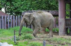 特写镜头一头亚洲大象 图库摄影