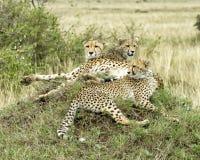特写镜头三成人猎豹说谎的休息在一个草覆盖的土墩顶部 图库摄影