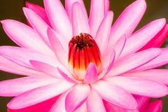 特写镜头与红色花粉的一朵美丽的莲花 库存照片
