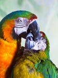 特写镜头两只杂种金刚鹦鹉亲吻 库存图片