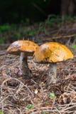 特写镜头两红色盖帽scaber茎蘑菇(Leccinum aurantiacum 库存照片