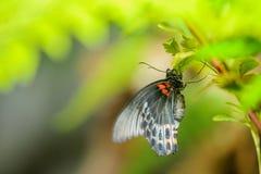 特写镜头了不起的摩门教徒 美丽的蝴蝶坐植物 免版税库存图片