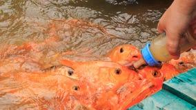 特写镜头人在从planked人行道的湖喂养鱼在公园 股票视频