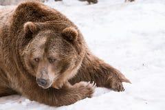 特写镜头北美灰熊在与雪生活styleeat戏剧冷颤的冬天 库存照片