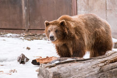 特写镜头北美灰熊在与雪生活styleeat戏剧冷颤的冬天 免版税库存照片