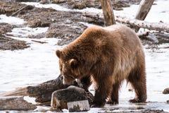 特写镜头北美灰熊在与雪生活styleeat戏剧冷颤的冬天 免版税库存图片