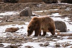 特写镜头北美灰熊在与雪生活styleeat戏剧冷颤的冬天 图库摄影