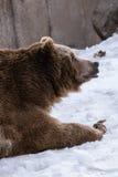 特写镜头北美灰熊在与雪生活styleeat戏剧冷颤的冬天 免版税图库摄影