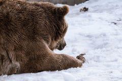 特写镜头北美灰熊在与雪生活styleeat戏剧冷颤的冬天 库存图片