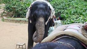 特写镜头印地安人投入了马鞍对大象在公园 影视素材