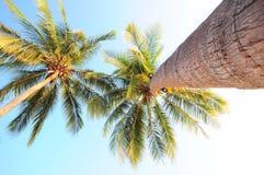 特写镜头可可椰子树从树干到树梢 免版税库存图片