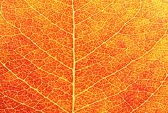 特写镜头叶子红色 库存照片