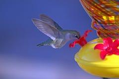 特写镜头吃花蜜的蜂鸟中间飞行从饲养者 免版税库存照片