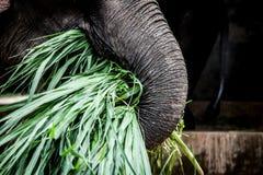 特写镜头吃绿草的asain大象 库存图片