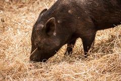 特写镜头和猪侧视图,吃干草 图库摄影