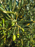 特写镜头在一棵橄榄树的绿橄榄在早晨太阳在Sithonia 免版税图库摄影