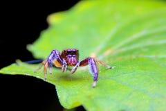 特写镜头在一片绿色叶子的跳跃的蜘蛛 免版税图库摄影