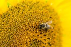 特写镜头从在向日葵的一只蜂射击了 库存照片