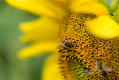 特写镜头从在向日葵的一只蜂射击了 免版税库存照片