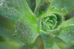 特写镜头在多汁植物的雨下落 免版税库存照片