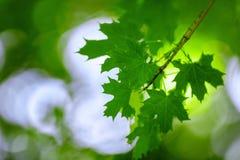 特写镜头在明亮的背景的绿色叶子 一个迷人的树枝 一个晴朗的夏天公园 壮观的花卉风景 库存照片