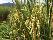 特写镜头在泰国的北部的米领域 库存图片