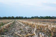 特写镜头在玉米收获以后的亩茬地 库存照片