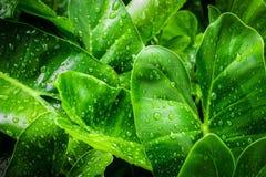 特写镜头在莲花的顶视图小滴与叶子绿色在雨以后的池塘 使用墙纸或背景自然的w 图库摄影