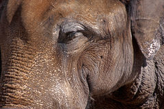 特写镜头大象 免版税库存图片