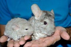 特写镜头妈妈和婴孩灰棕色黄鼠 免版税库存照片