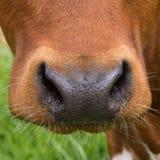 特写镜头鼻子母牛 免版税库存照片