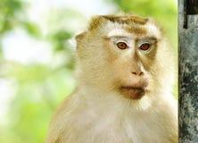 特写镜头猴子portriat 库存照片