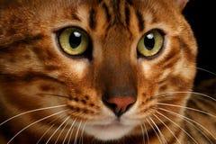 特写镜头孟加拉猫 免版税库存照片